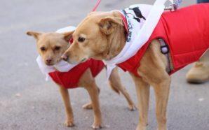 Perros corren en una carrera atlética para protestar contra el…